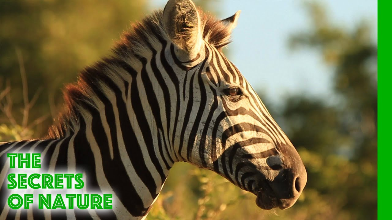 Zebra - Africa's Wild Wonders - The Secrets of Nature
