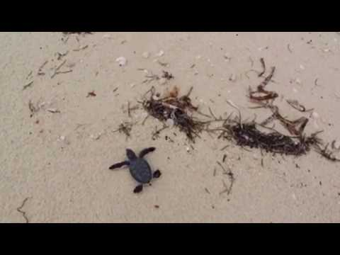 207 Seconds of Sea Turtle Hatchlings Make It To The Water At Dry Tortugas National Park