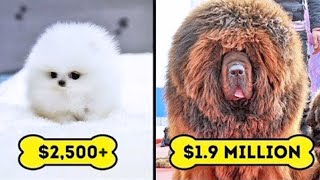 15 Most Expensive Dog Breeds In The World