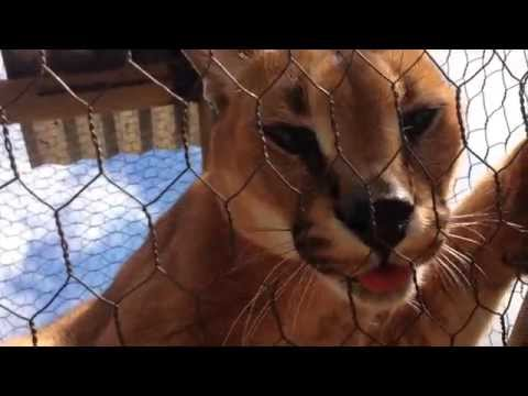 A Caracal Called Lucius | Moholoholo South Africa