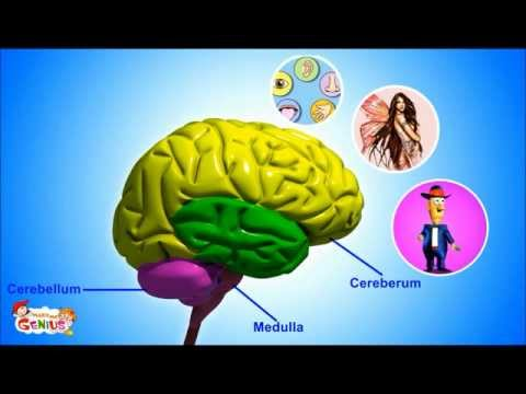 Our Brain - Human Anatomy -Lesson for Kids- School Science Video