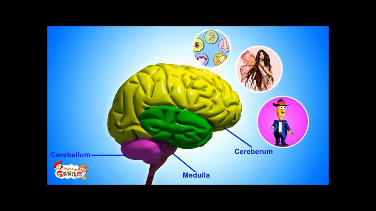 medium resolution of Our Brain - Human Anatomy -Lesson for Kids- School Science Video - YouTube
