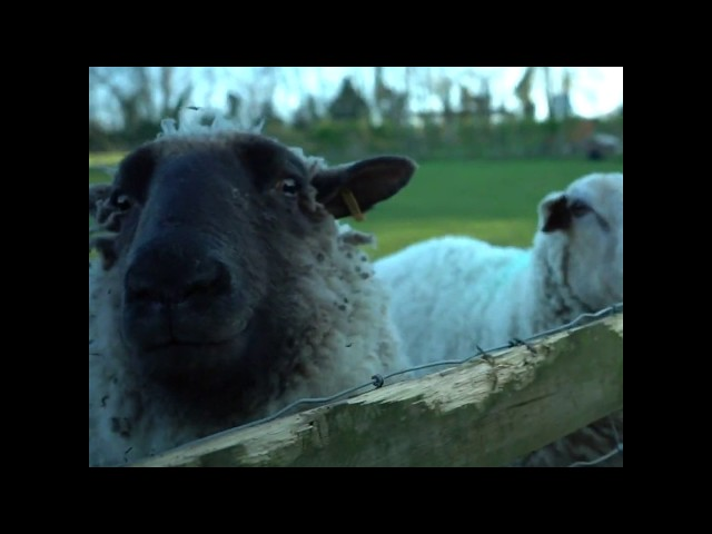 Dandelion Nature Time | Cheeky Sheep