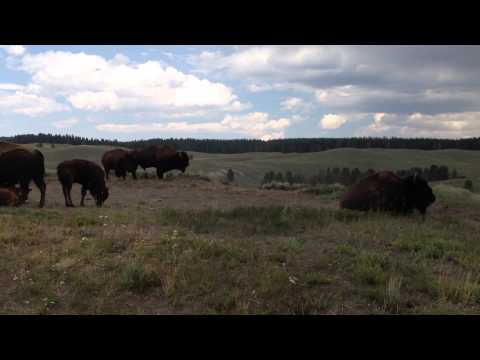 Terry McEneaney-Bison on the Move Yellowstone