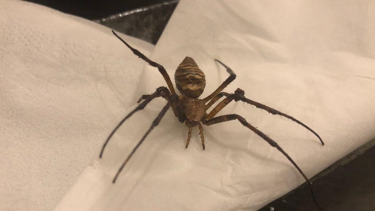 【巨大グモ】蜘蛛のバターソテー