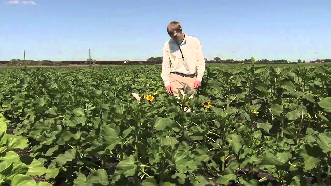 America 39 S Heartland North Dakota Sunflower Harvest Youtube