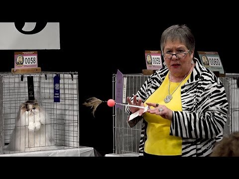 CFA International Cat Show 2017 - Pam Bassett's best bicolor Persian kitten