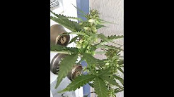 Male Marijuana Plant (memorial day 2013)