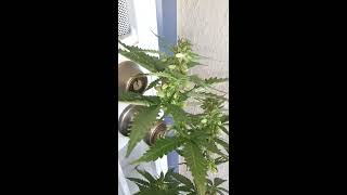 Male Marijuana Plant (memorial Day 2013)