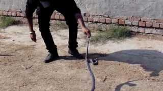 live catching snake video(vikram malout con-no98141-71064) 25-11-2013
