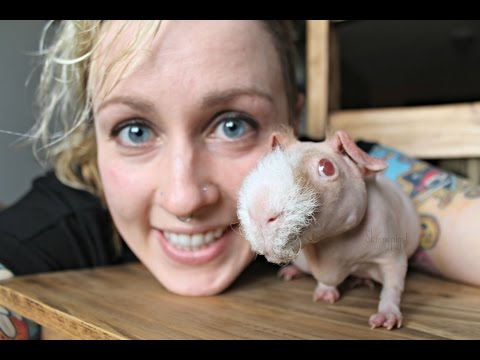 How To Care For Hairless Guinea Pigs (Skinny Pigs)