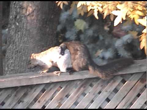 Black/Gray Squirrels Gone Wild