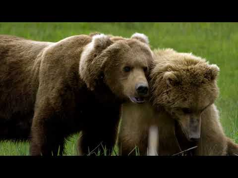 grizzly-encounters-with-chris-morgan---trailer-for-2018-wcff
