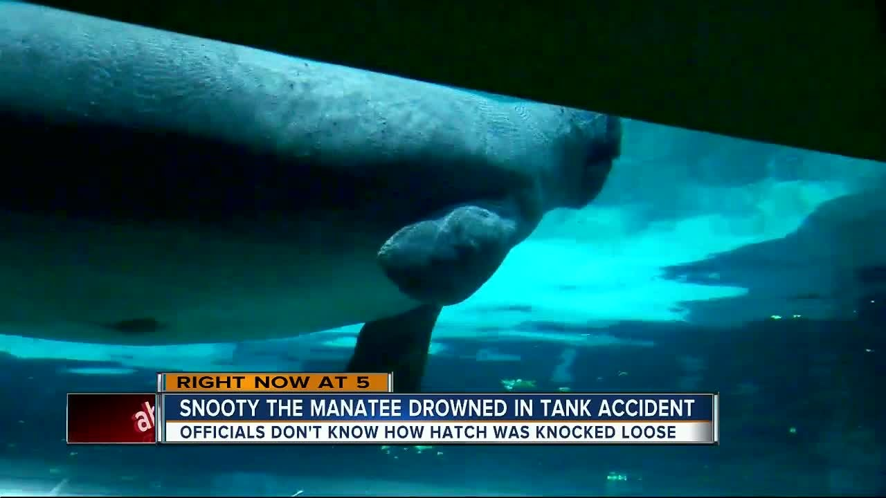 Snooty world s oldest manatee in captivity dies in heartbreaking accident 2 days after birthday