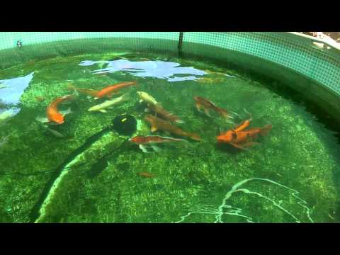 Pool pond fish update youtube for Koi pond next to pool