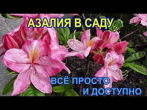 АЗАЛИЯ В моём саду /неприхотливое растение