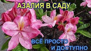 АЗАЛИЯ В моём саду /неприхотливое растение(Как вырастить прекрасный цветущий в конце мая кустик азалии. Никаких секретов нет всё ну очень просто., 2015-05-26T20:13:42.000Z)