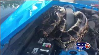 Crews remove 10' Burmese python found under car hood