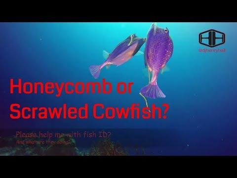Boxfish - Honeycomb Or Scrawled Cowfish?