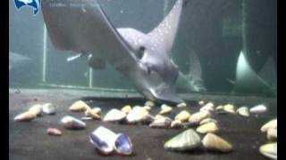 silvertip Sharks Part 2 with Eagle Rays
