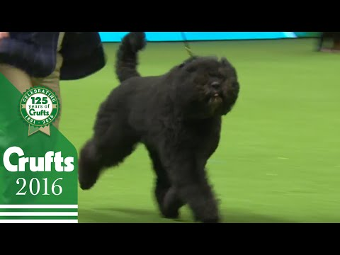 Bouvier Des Flandres wins the Working Group Judging | Crufts 2016