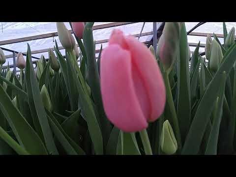 Вопрос: Сколько стоят срезанные тюльпаны в воде?