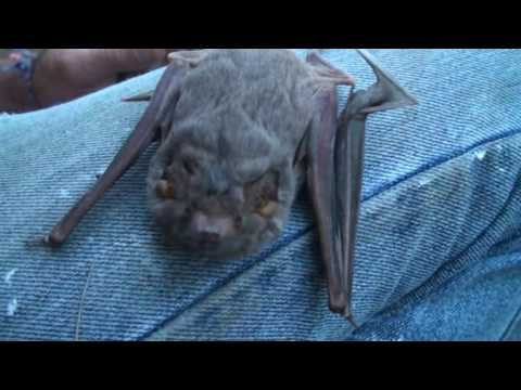 Cute Micro Bat  Taphozous Georgianus