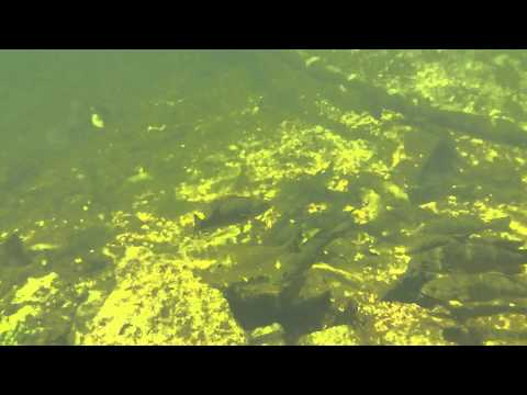 Great View Of A Large Group Of Smallmouth Bass, Otonabee River
