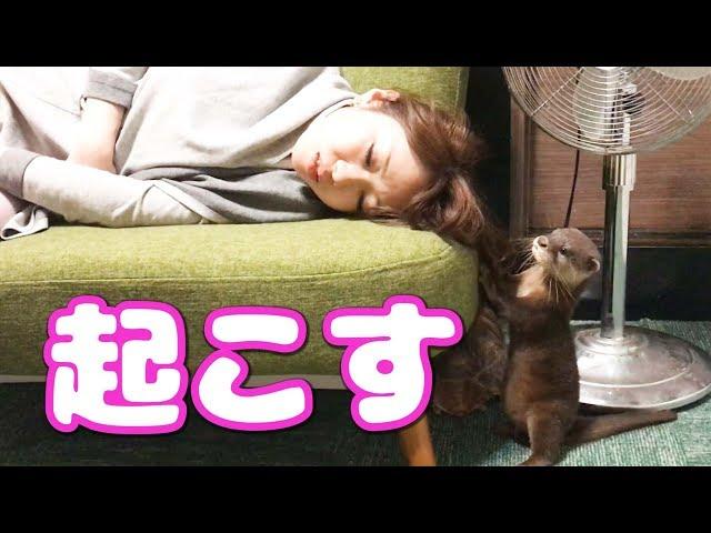 寝ているお姉さんをどうしても起こしたいカワウソ【しゃもじ】 The woman who is woken up to an otter