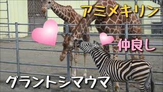 釧路市動物園 2017年4月29日(土) アミメキリン スカイ(オス・4歳) グラ...