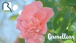 How to Care for Your Camellias in Zone 6 & Zone 7