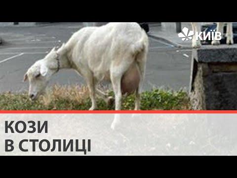У центрі Києва під будівлею МЗС паслися кози