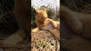 【cat】サクラ猫手術をしたばかりの猫ちゃん【बिल्ली】