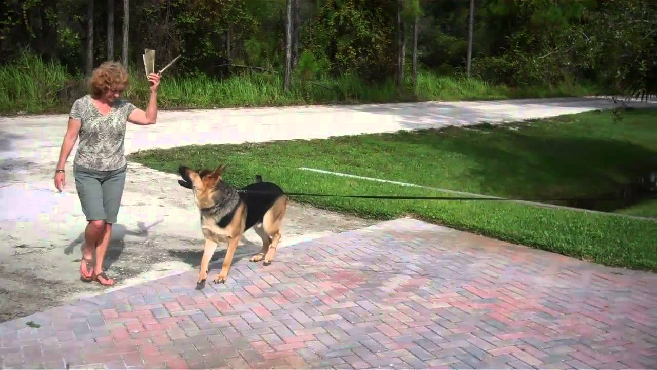 german shepherd tested on staying in his yard without a fence