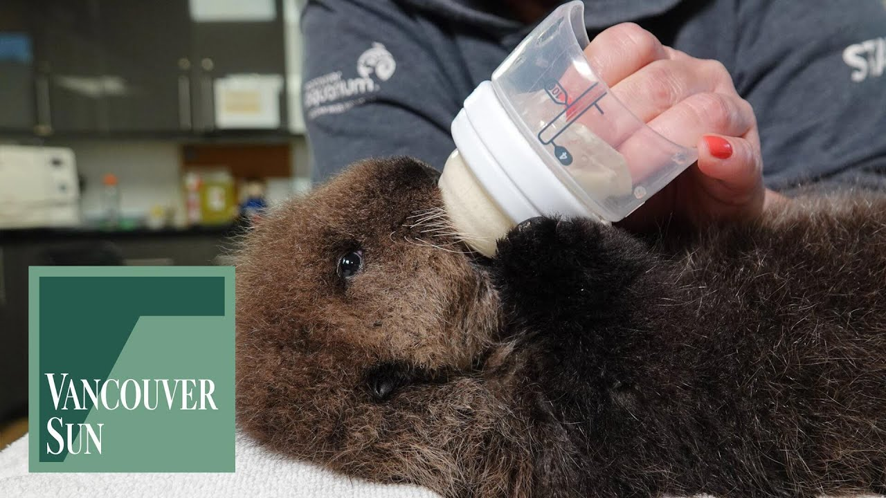 Orphaned sea otter pup rescued on Vancouver Island | Vancouver Sun