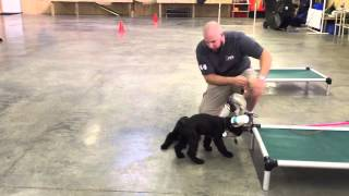 L Litter Giant Schnauzer Males Protectiondogsales.com
