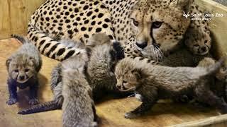 もこふわ八つ子ちゃんが生まれたよ!チーターの赤ちゃん激かわゆす