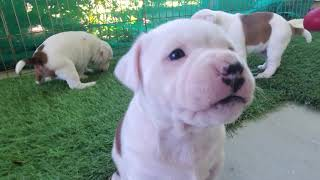 AKC STAFFORDSHIRE BULL TERRIER PUPPIES, 31 days outside time