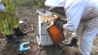 Harvesting Full Honey Frames From A Langstroth Beehive