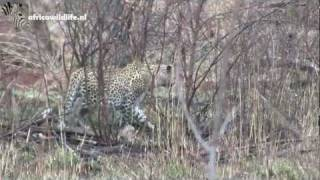 Leopard hunting for impala