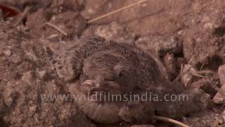 Ashy-crowned Finch Lark parent and chicks at nest in Jawai Bandh Rajasthan