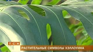В Перми в ботаническом саду расцвел цветок летучей мыши(, 2014-10-31T09:08:05.000Z)