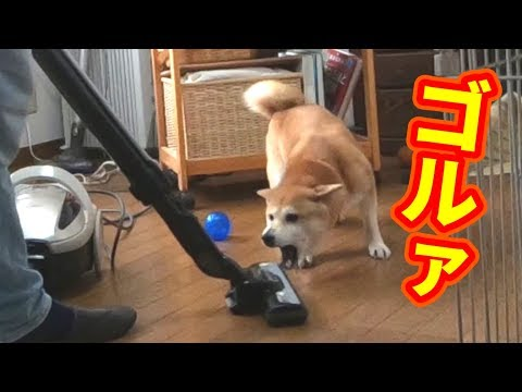 柴犬小春 【咆哮】宿敵掃除機だけは見逃さない!