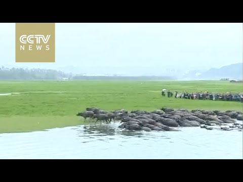 Hundreds of cattle swim across a river in Sichuan