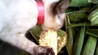 Gato comendo milho verde cru!!!