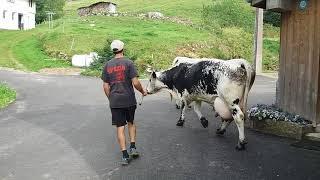 Suite Vaches Vosgiennes