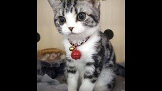 A cute american curl cat