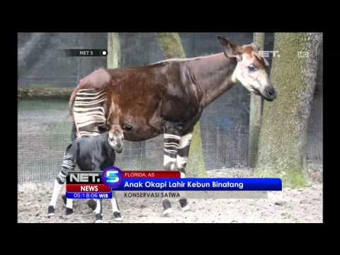 Kebun Binatang Lowry Park Florida Perkenalkan Bayi Jerapah Okapi - NET5