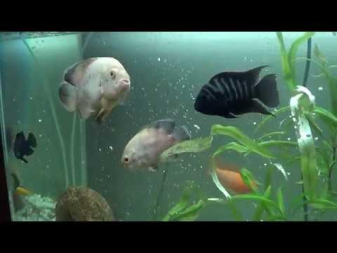 Аквариум с рыбками: астронотусы, зебры, попугаи. Как выращивать рыбок