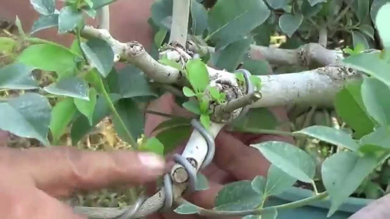 Bonsai Tutorials For Beginners How To Wire At A Cut Junction Wiring Chinese Elm